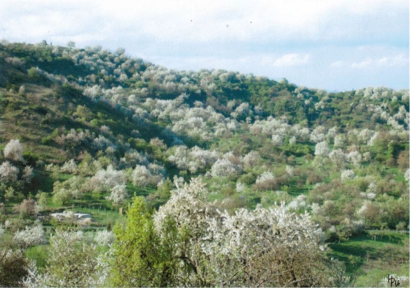 10 Kirschblüten Rumänien Home